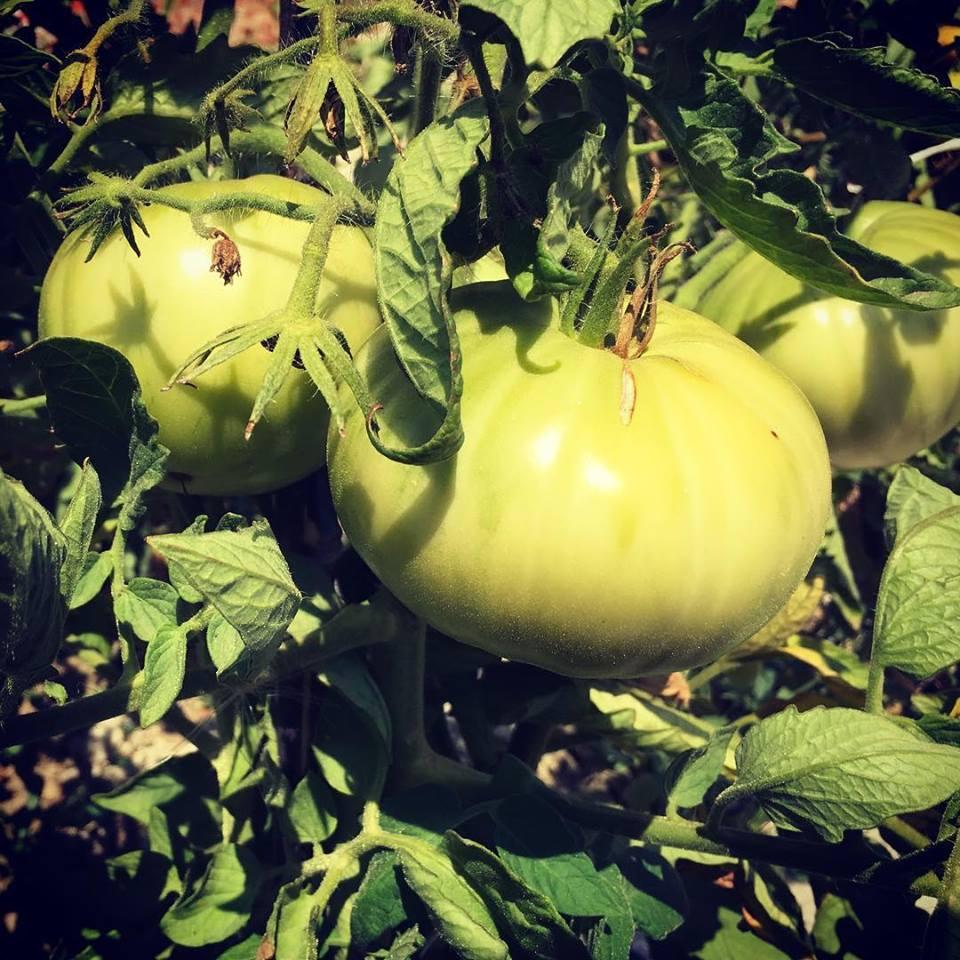 tomates-verdes